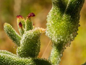 Mesembryanthemum guerichianum