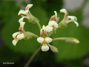 Pelargonium luteolum (4)