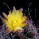 Ferocactus hamatacantha