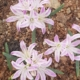 Lachenalia ensifolia pink(Polyxena ensifolia)  (10)