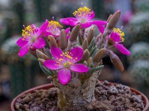 Avonia quinaria (20)