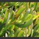 Erepsia heterophylla