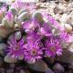 Gibbaeum pubescens