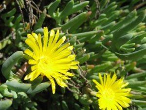 Malephora framesii