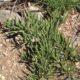 Cissus hereroense  (5 seeds)