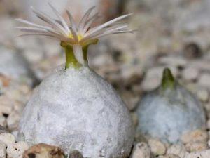 Conophytum hammeri (10)