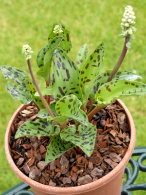 Drimiopsis maxima (5)