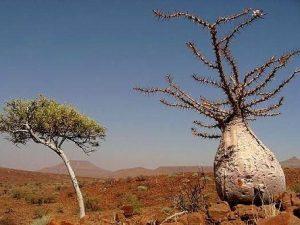 Pachypodium saundersii ssp leali