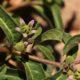 Raphionacme lanceolata (5 seeds)