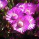 Ruschia macowanii