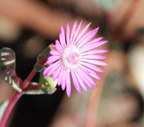 Ruschiella argentea