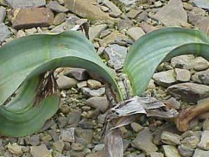 Welwitschia mirabilis (5 seeds)