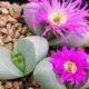 Argyroderma delaetii plant
