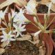 Brunsvigia sp. nova (3)