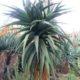 Aloe cv goliath