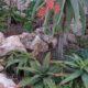 Aloe mudenensis