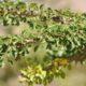 Croton socotranus  (2)