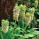 Eucomis bicolor (10)