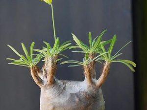 Pachypodium cactipes (5)
