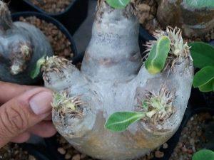 Pachypodium  eburneum (2)
