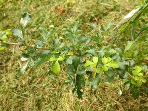 Searsia pentheri