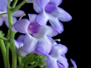 Streptocarpus cooperi