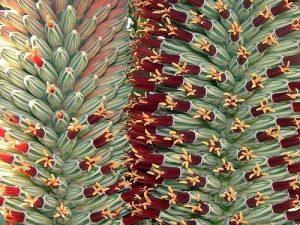 Aloe speciosa