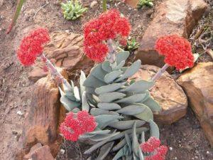 Crassula perfoliata var. major