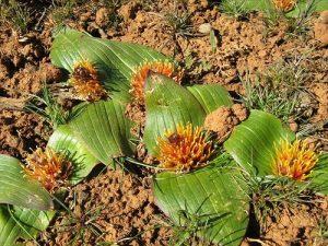 Daubenya capensis bulb
