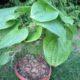 Dioscorea mexicana (2)