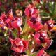 Euphorbia hamata (10 seeds)
