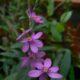 Ixia scillaris