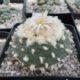 Lophophora koehresii