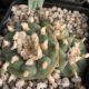 Lophophora williamsii cuatrocienegas