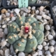 Lophophora williamsii los tecolotes