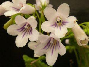 Streptocarpus parviflorus