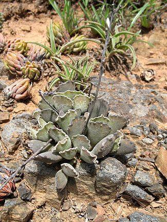 Adromischus sphenophyllus