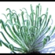 Albuca ciliaris (10)