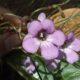 Streptocarpus denticulatus