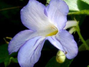 Streptocarpus formosus