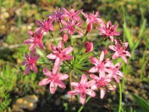 Hessea breviflora BULB