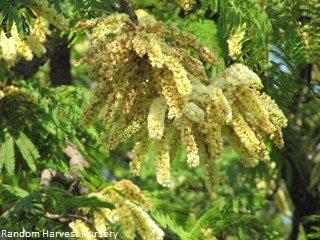 Acacia caffra
