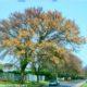 Acacia galpinii