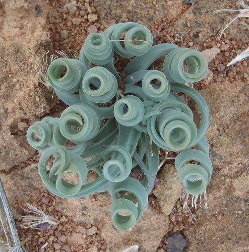 Coilonox concordianum (Albuca concordiana) (10)