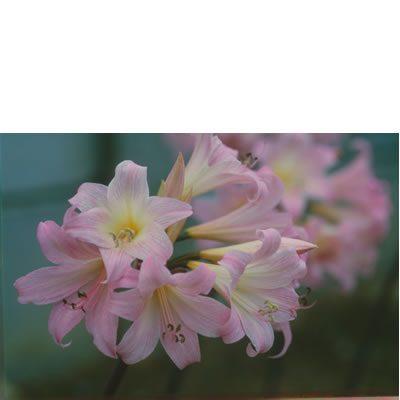 Amaryllis belladonna BULB