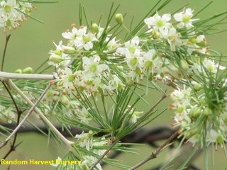 Asparagus laricinus