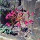 Brunsvigia gregaria SEEDLING