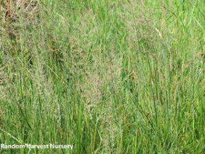 Eragrostis gummiflua