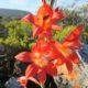 Gladiolus priorii BULB