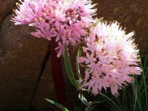 Haemanthus humilis ssp. humilis Bloemfontein